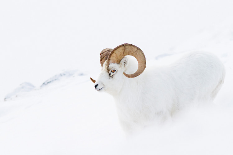 Photograph Dall Sheep ram by Nicolas Dory on 500px