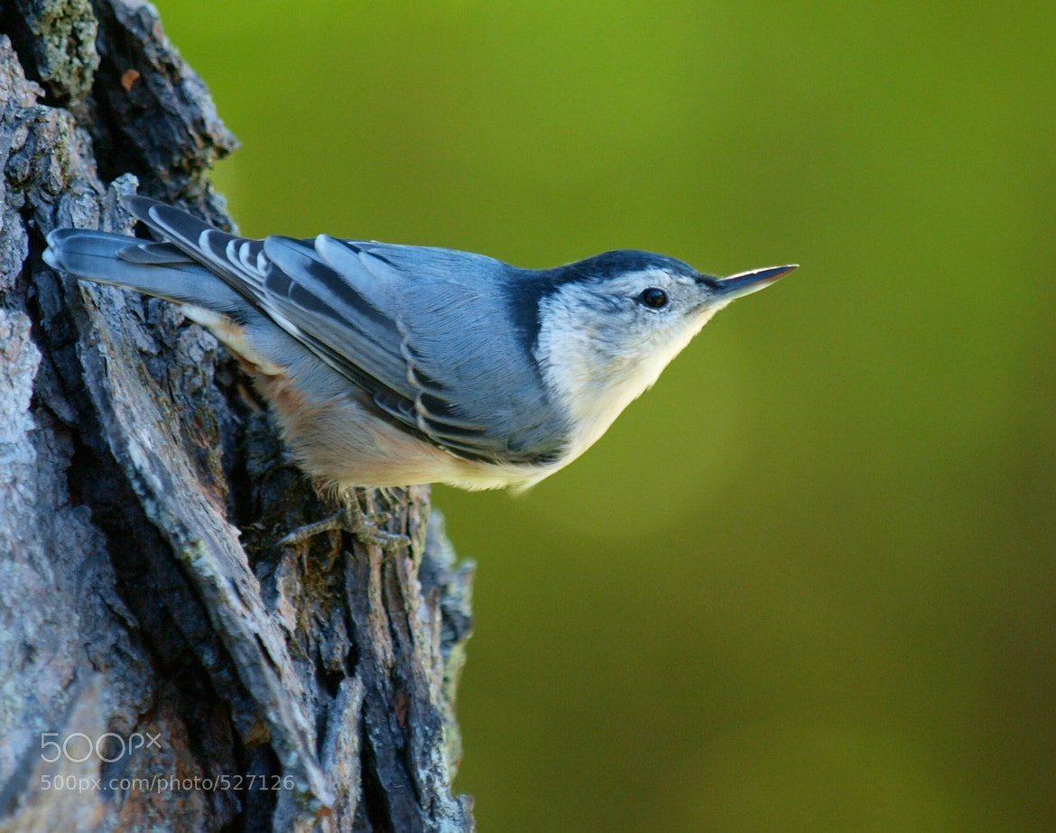 Photograph Nuthatch by Linda Edgecomb on 500px