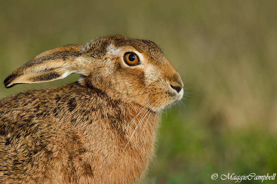 Photograph Hare profile by Maggie Campbell on 500px