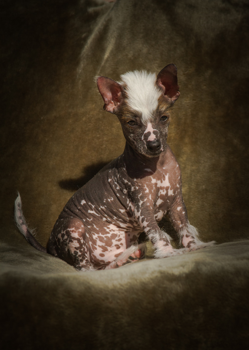 Photograph Chinese Crested by Rebecca Healee on 500px