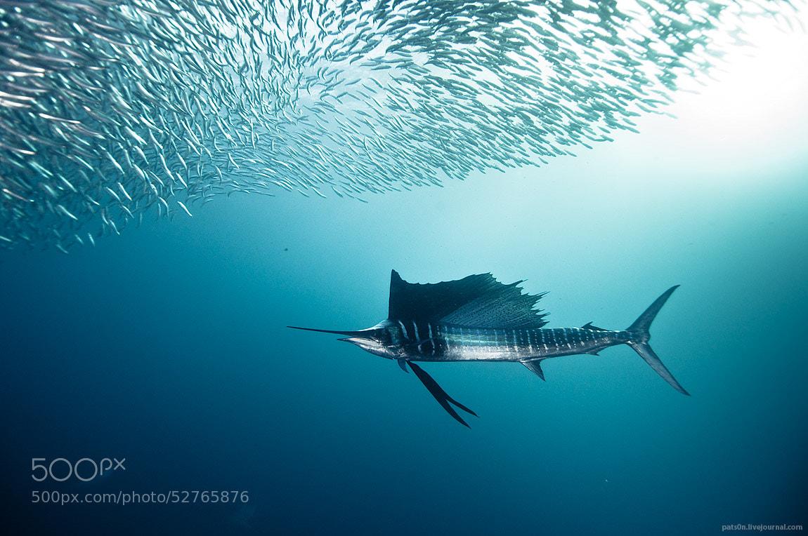 Photograph sailfish zen by Alexander Safonov on 500px