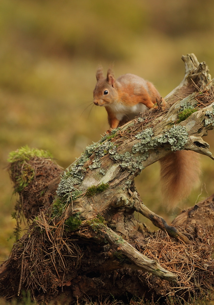 Photograph Red Squirrel by Luke Massey on 500px