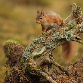 Red Squirrel by Luke Massey (LukeMasseyImages)) on 500px.com