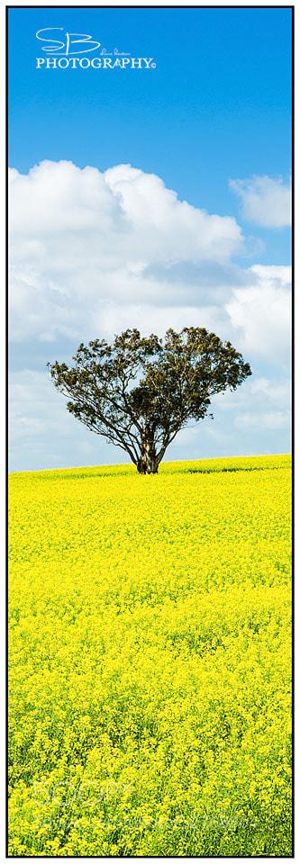 Photograph Canola Tree by ShaneBeaton on 500px