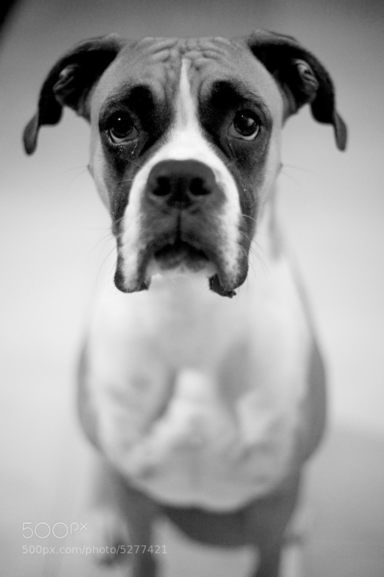 Photograph Mi Boxer Buba by Luis López jurado on 500px