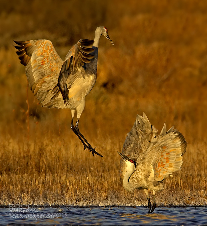 Photograph Mating Dance by Alfred Forns on 500px