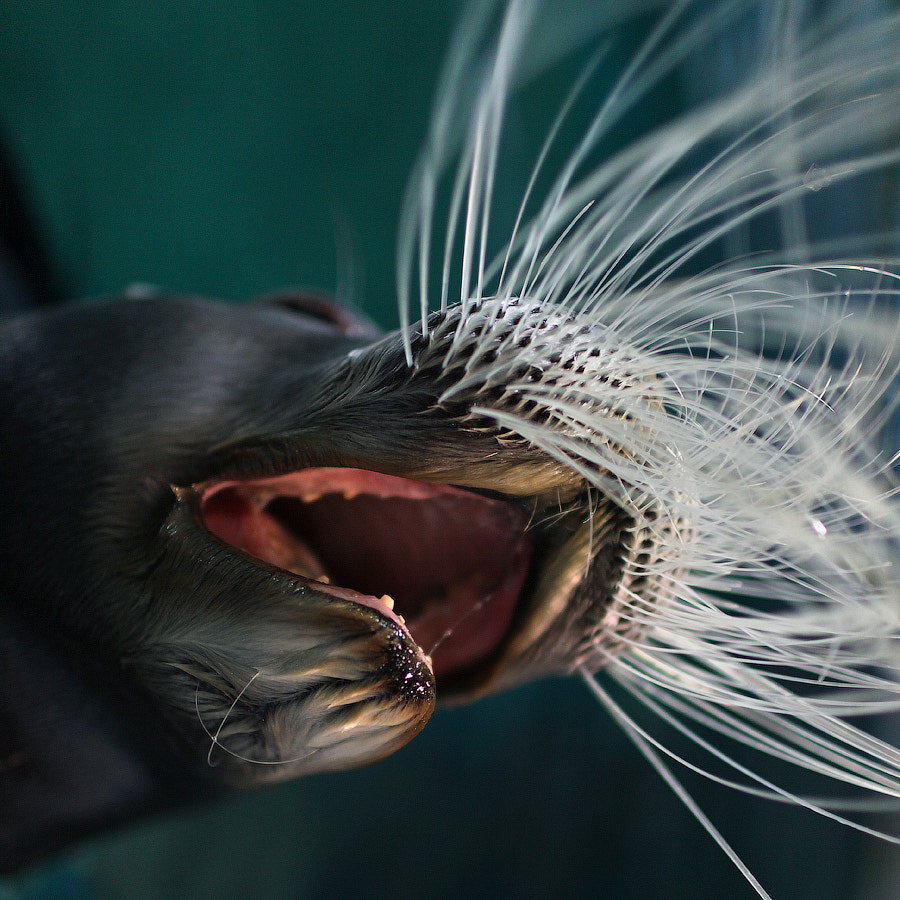 Photograph Scream seal by Mark Podrabinek on 500px