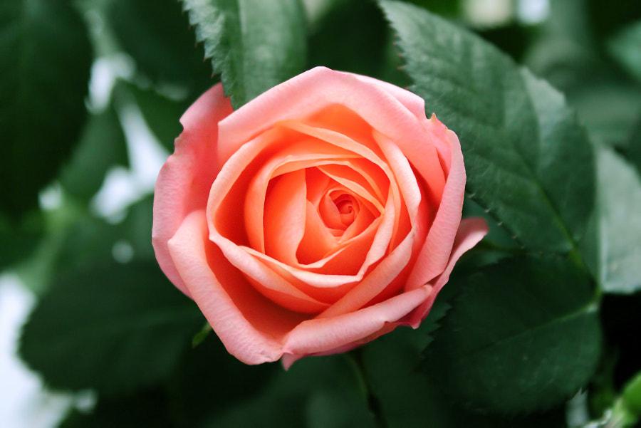 Rose by Marat Musin on 500px.com