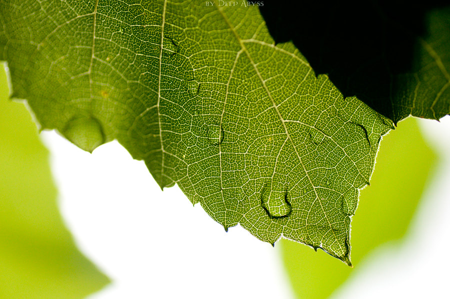 Photograph Grape leaf by Юлия Бурчакова on 500px