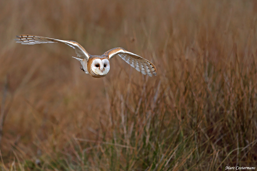 Photograph Barn owl flying by Marc Costermans on 500px