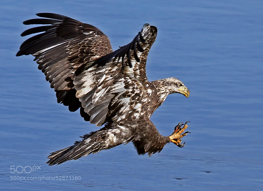 Talons out, wing/tail feathers spread, fish in sight.