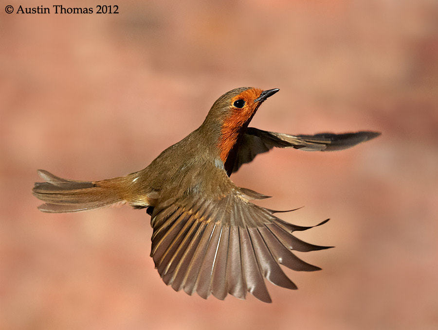 Robin in flight.
