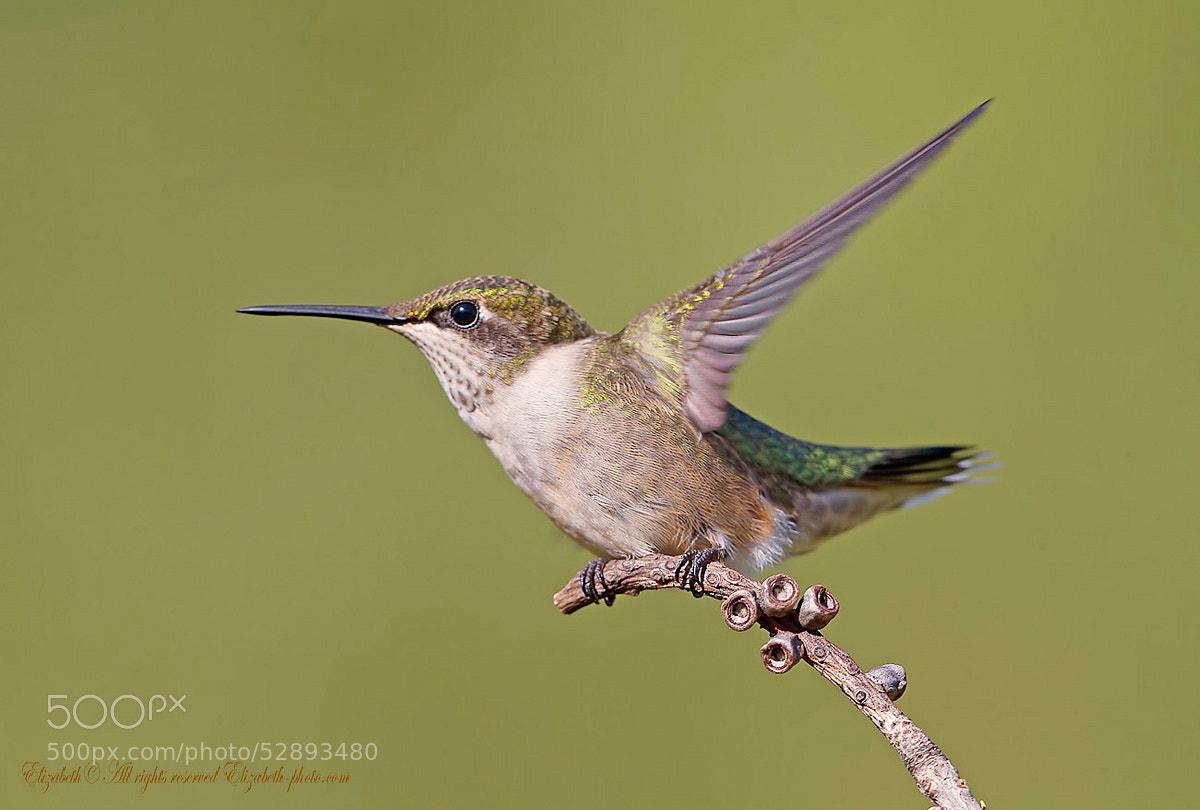 Photograph Hummingbird by Elizabeth.  E. on 500px