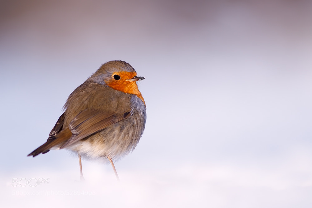 Photograph Icecold Robin ;) by Roeselien Raimond on 500px