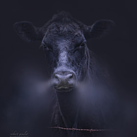 Bull by Robert Goulet on 500px.com