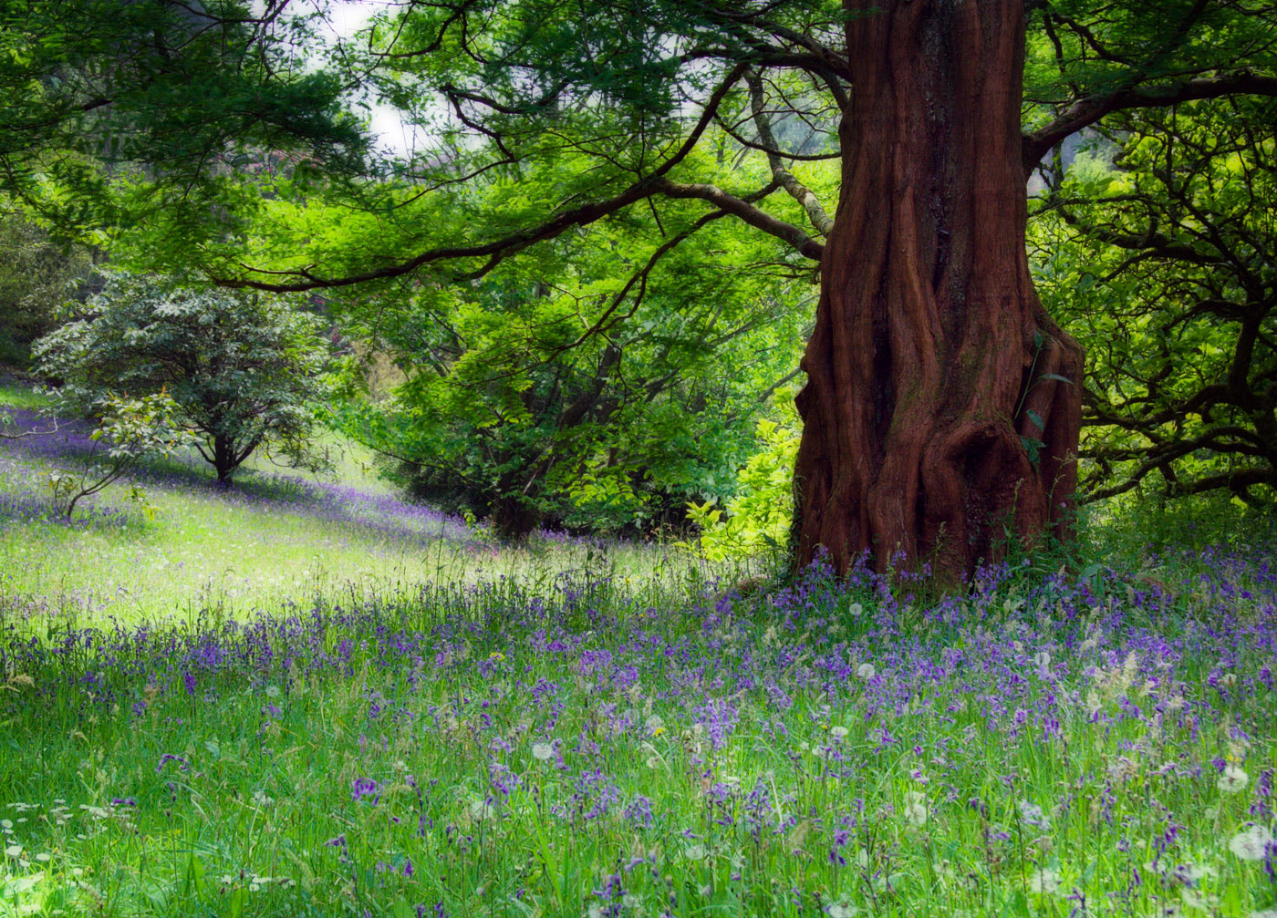 Photograph The bluebells by Paul Davis on 500px