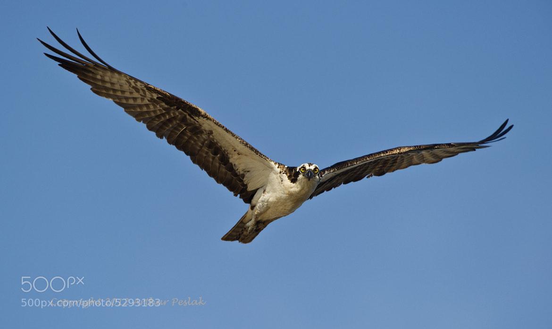 Photograph Osprey Hovering by Art Peslak on 500px