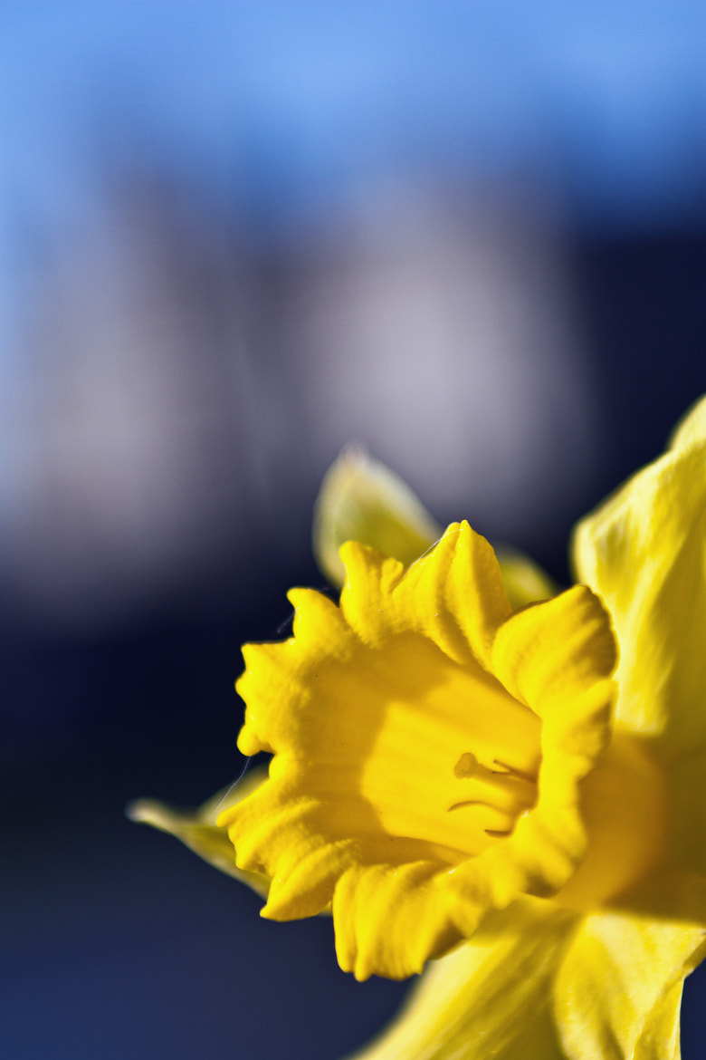 Photograph Daffodil by Asif Patel on 500px