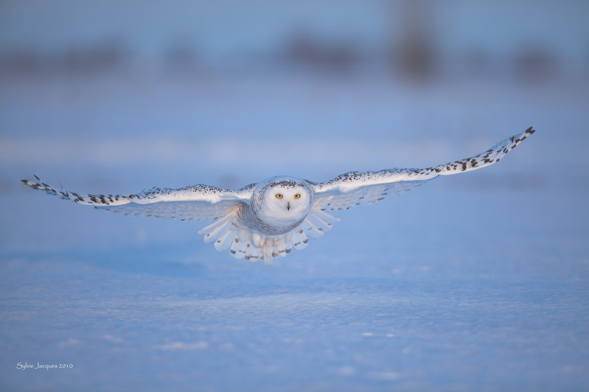 Photograph Snowy owl / Harfang des neiges by Sylvie Jacques on 500px