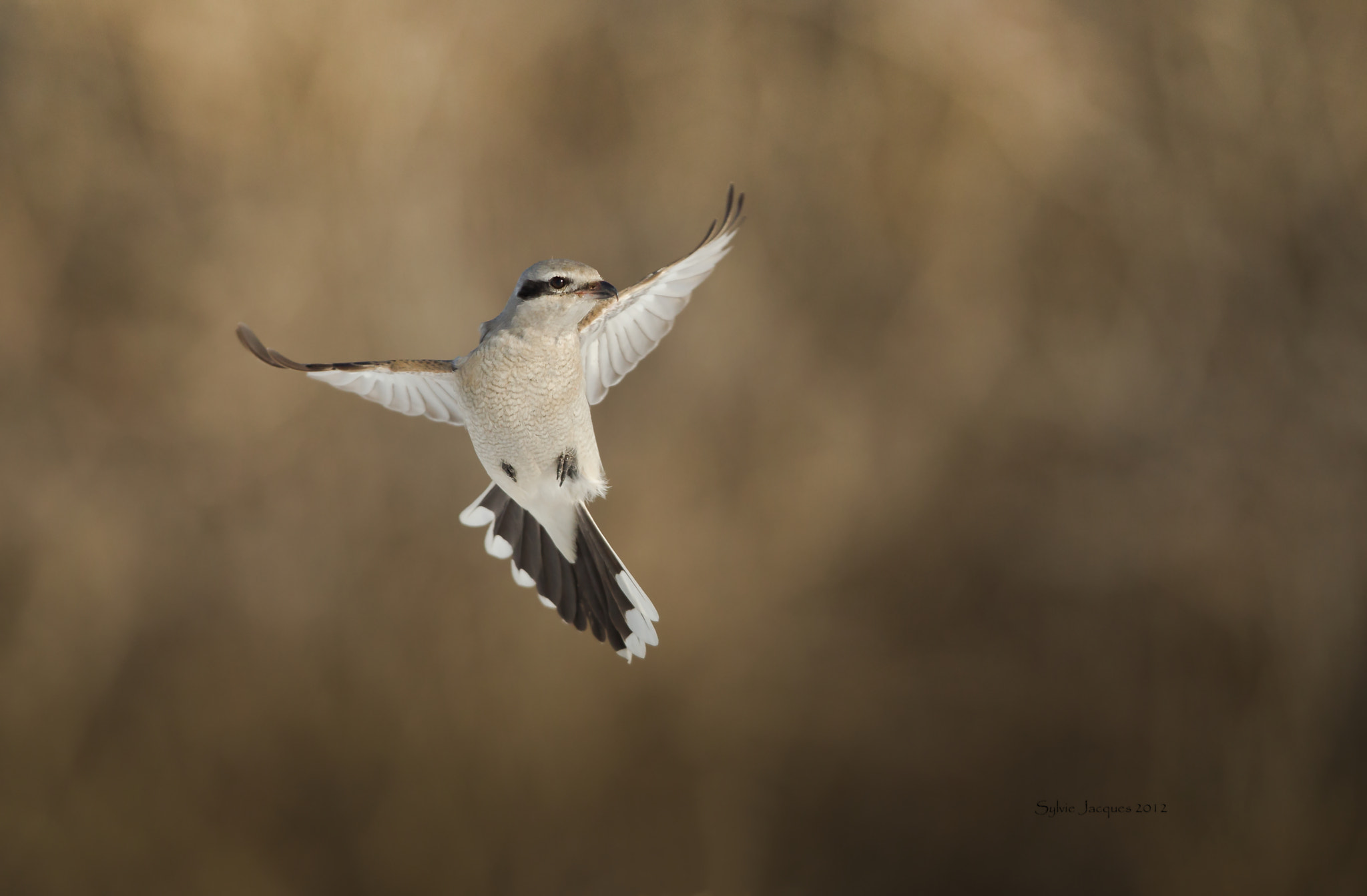 Photograph Northern Shrike / Pie grieche grise by Sylvie Jacques on 500px