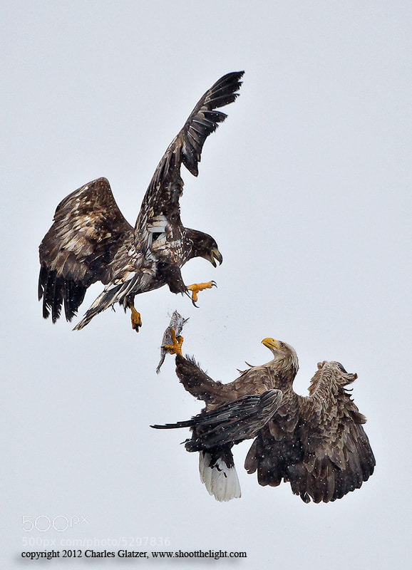 Photograph White-tailed Sea Eagles, Japan by Charles Glatzer on 500px