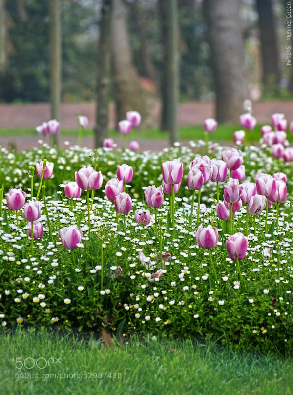 "Tulips beauty by Mehmet Çoban on 500px.com"" border=""0"" style=""margin: 0 0 5px 0;"