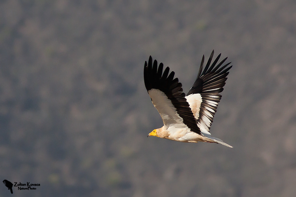 Photograph Egyptian Vulture (Neophron percnopterus) by Zoltan Kovacs on 500px