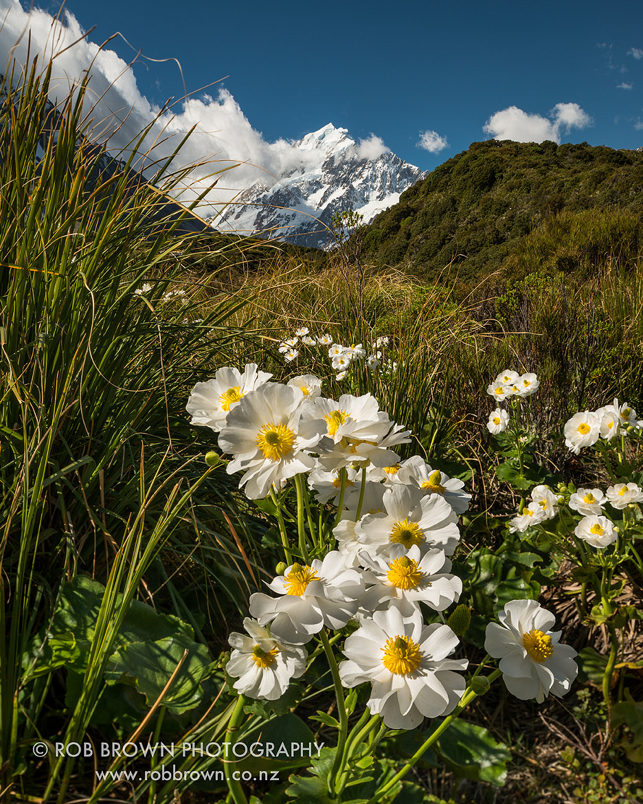 Photograph Mount Cook Buttercups by Rob Brown on 500px