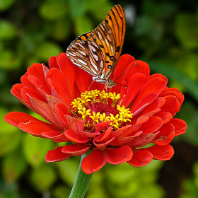Passion Butterfly by Pedro Henrique Evangelista (Pedro_Evangelista)) on 500px.com