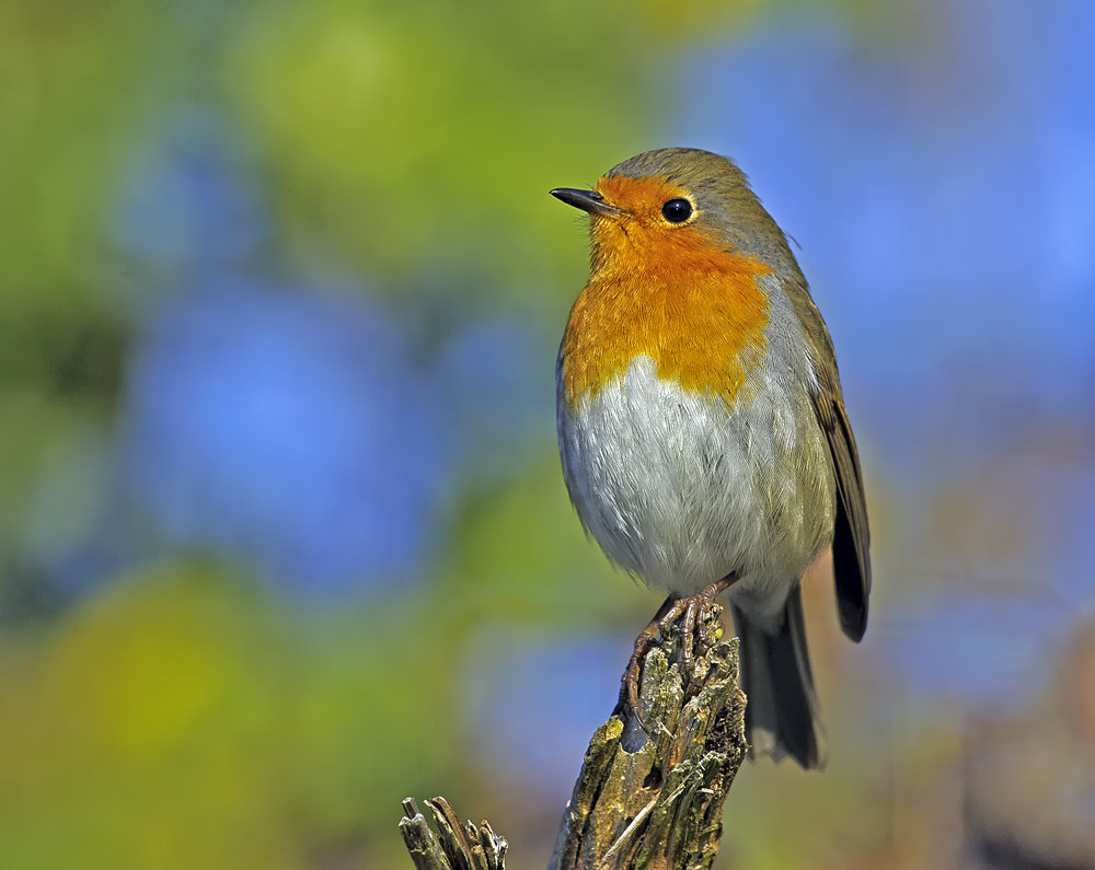Photograph Robin by Urs Bachmann on 500px