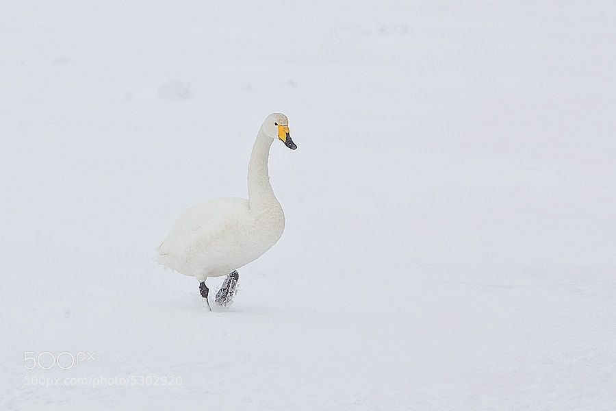 A whooper Swan on frozen Lake Kusharro on Hokkaido.