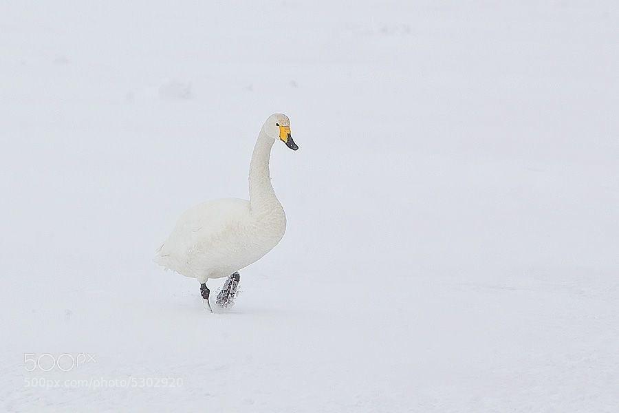 A whooper Swan on frozen Lake Kusharro on Hokkaido.