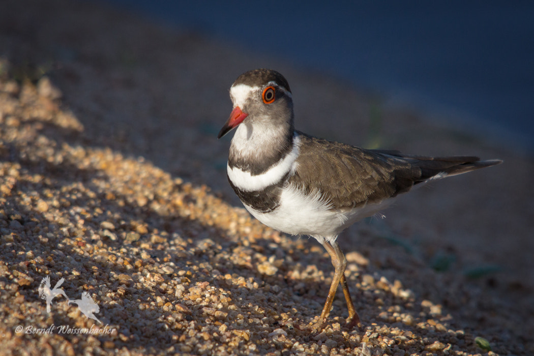 Photograph Three-banded Plover by Berndt Weissenbacher on 500px