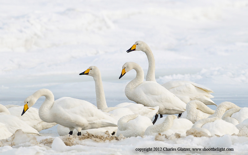 Photograph Whooper Swans, Japan by Charles Glatzer on 500px