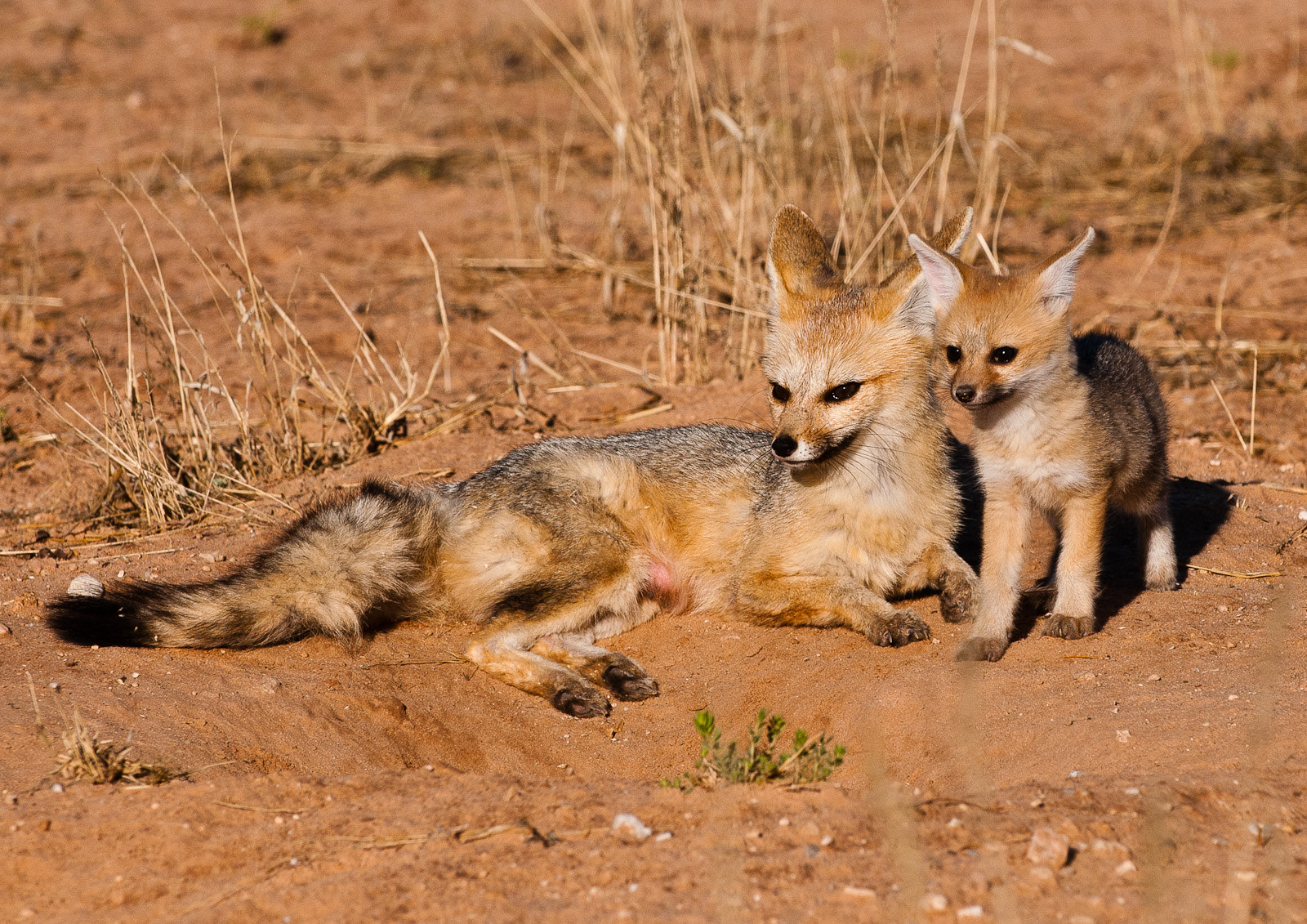 Photograph Cape fox by Gorazd Golob on 500px