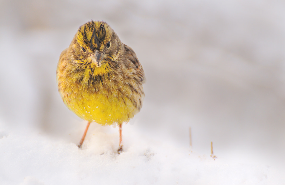 Photograph Yellowhammer(Emberiza citrinella) by Stefan Stefanov on 500px