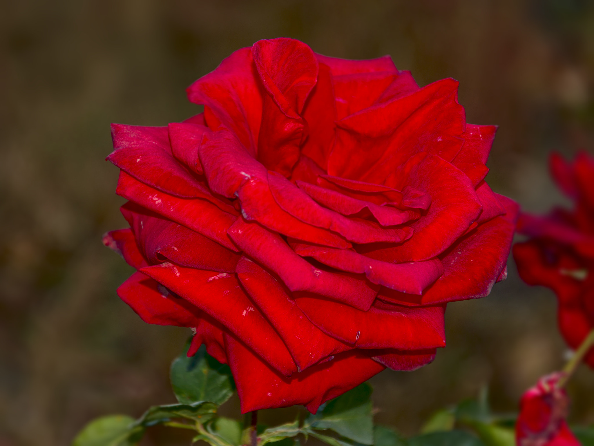 Photograph Red Red Rose by David  Akers on 500px