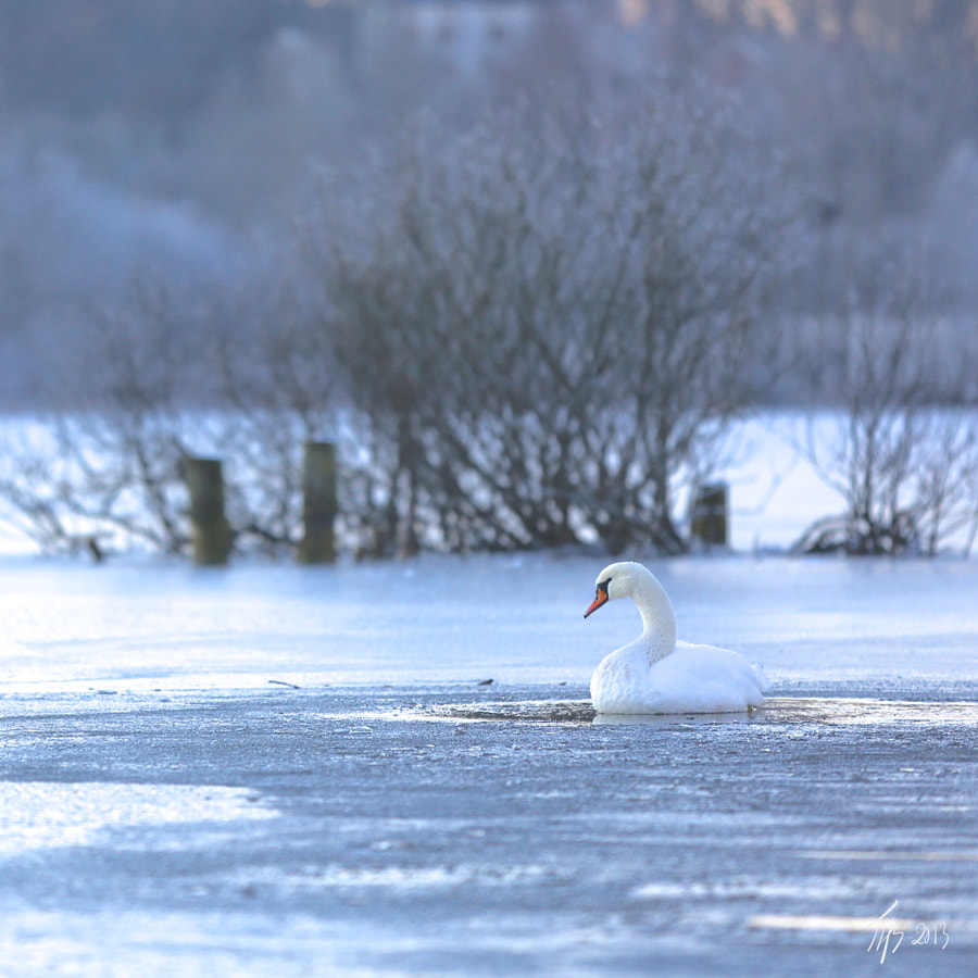 I was taking a walk round a lake, then suddenly, I did see this Swan that was about to get stuck in the ice. It finally got out of the water, but I got to take lots of photos of it first :-)