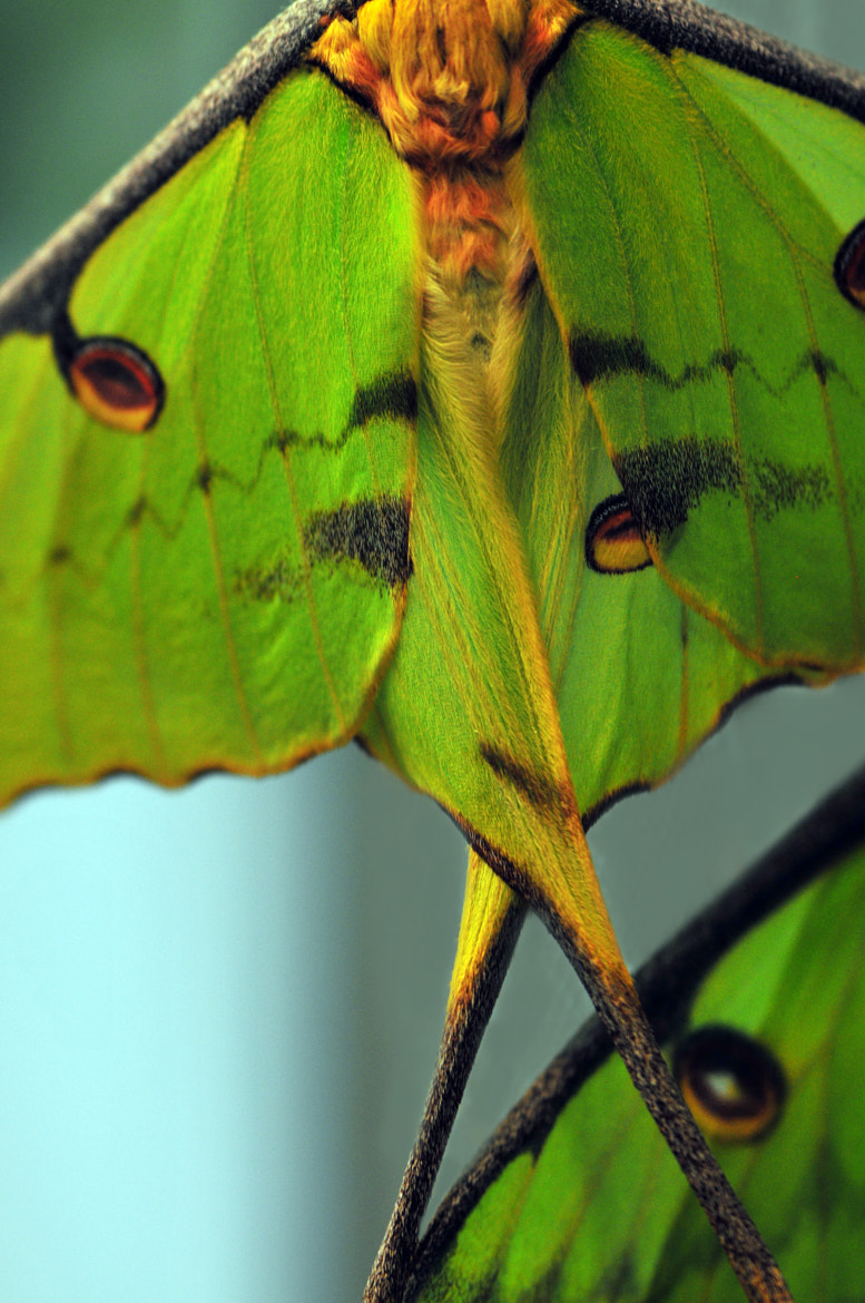 Photograph Luna Moths by Enkased  on 500px