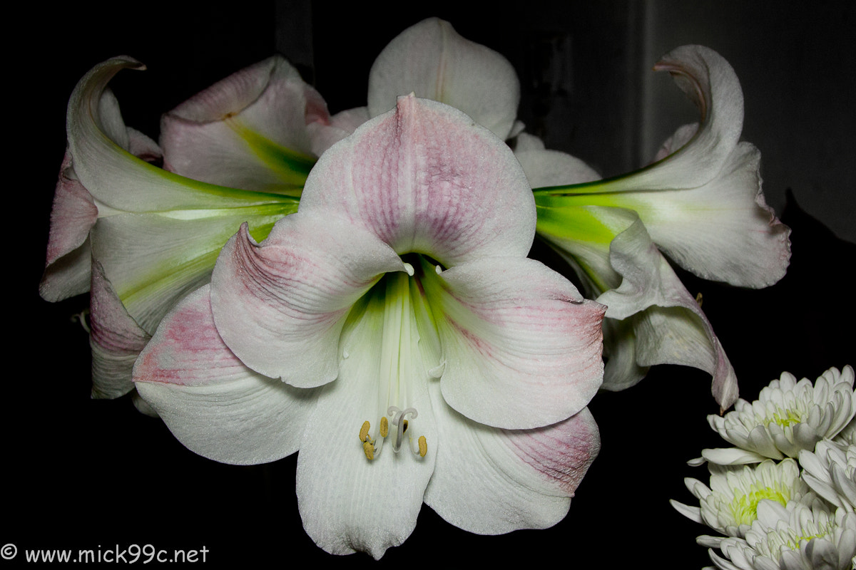 """Photograph Amaryllis """"Apple Blossom"""" by Mick Brown on 500px"""
