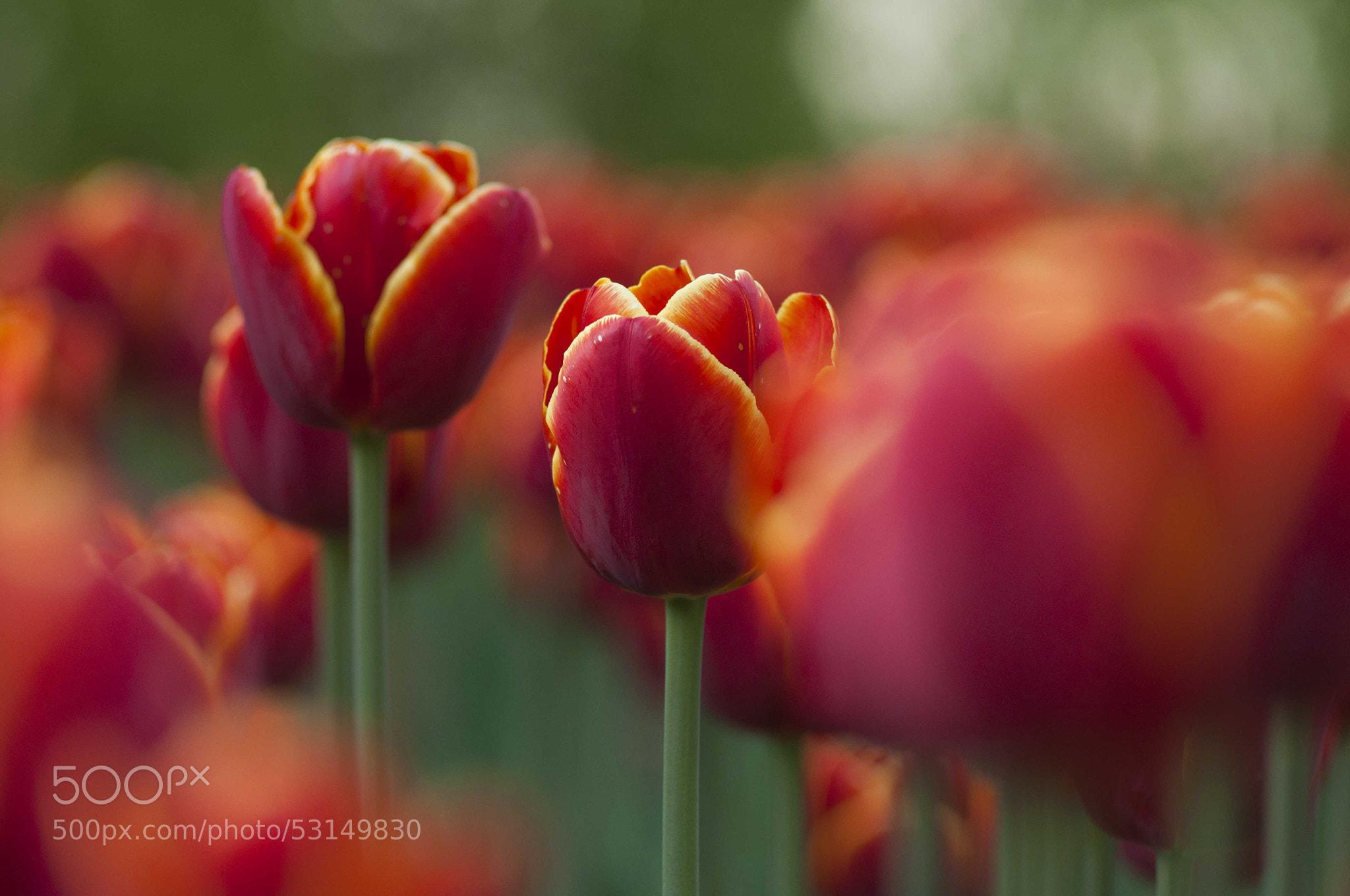 Photograph Tulip's breath by Sasha Pleshko on 500px