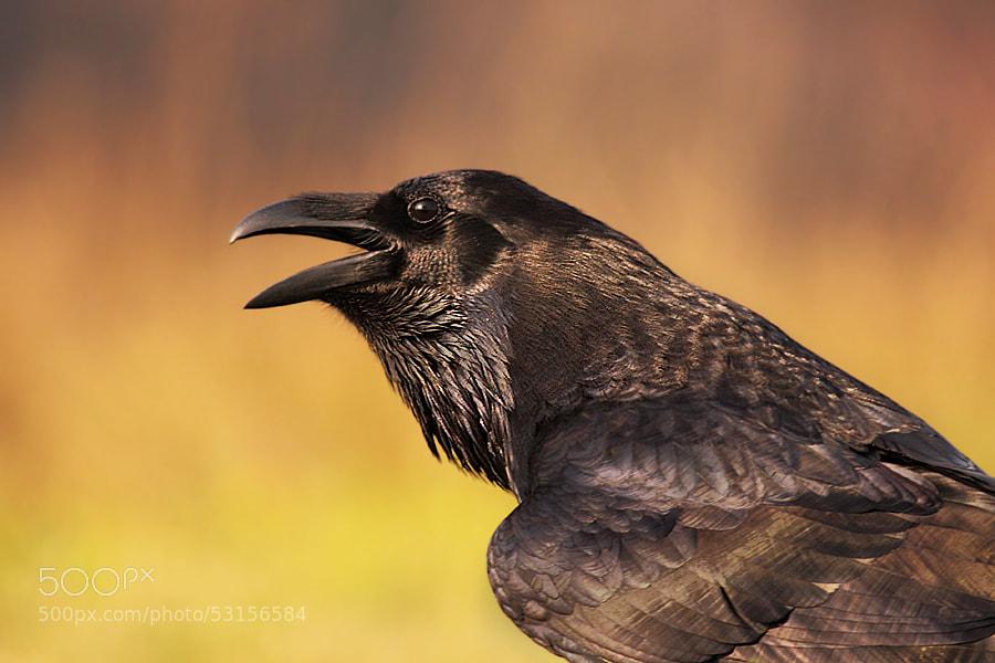 Photograph raven by Hencz Judit on 500px