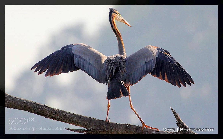 Photograph Purple Heron by Dev Panda on 500px