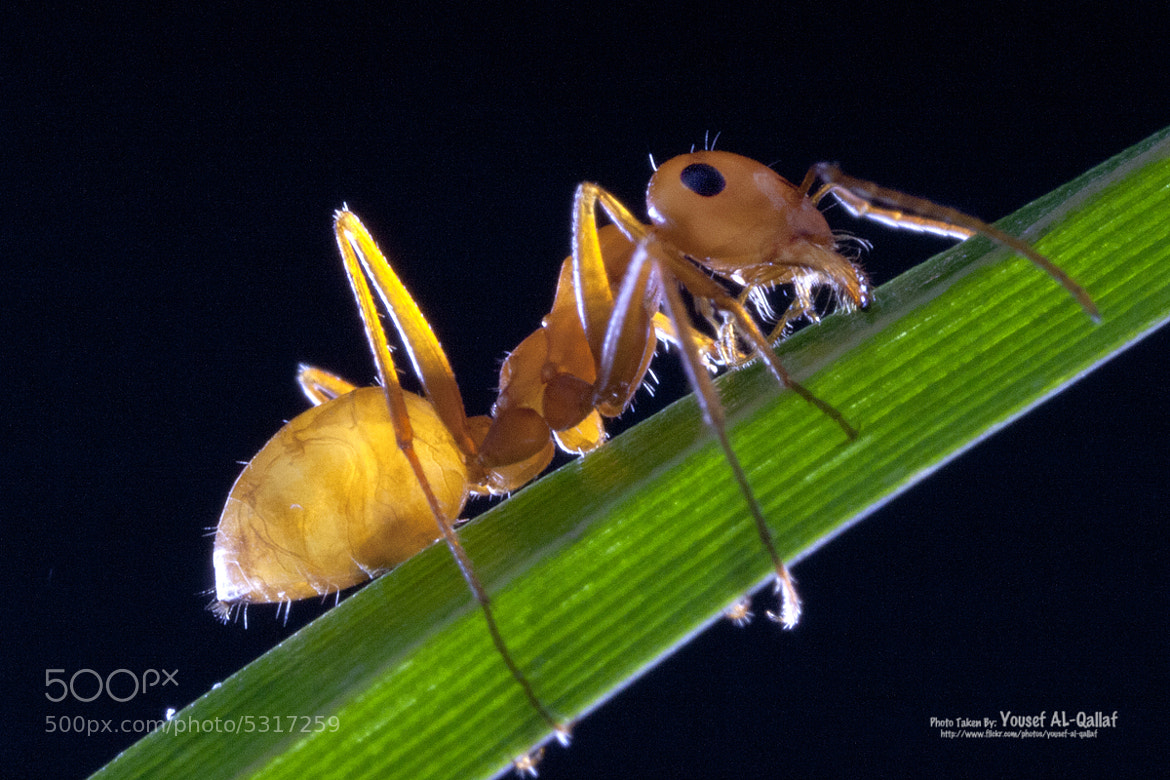 Photograph Ant by Yousef Al Qallaf on 500px