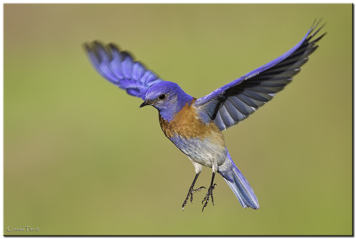 Photograph Western Bluebird by Conrad Tan on 500px