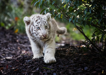 baby animals - White tiger cub by Janet Weldon on 500px