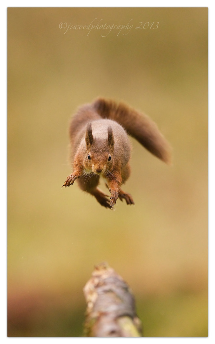 Photograph Jumping Red Squirrel by Jason Wood on 500px