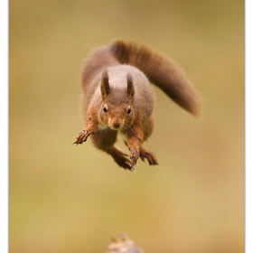 Jumping Red Squirrel by Jason Wood on 500px.com