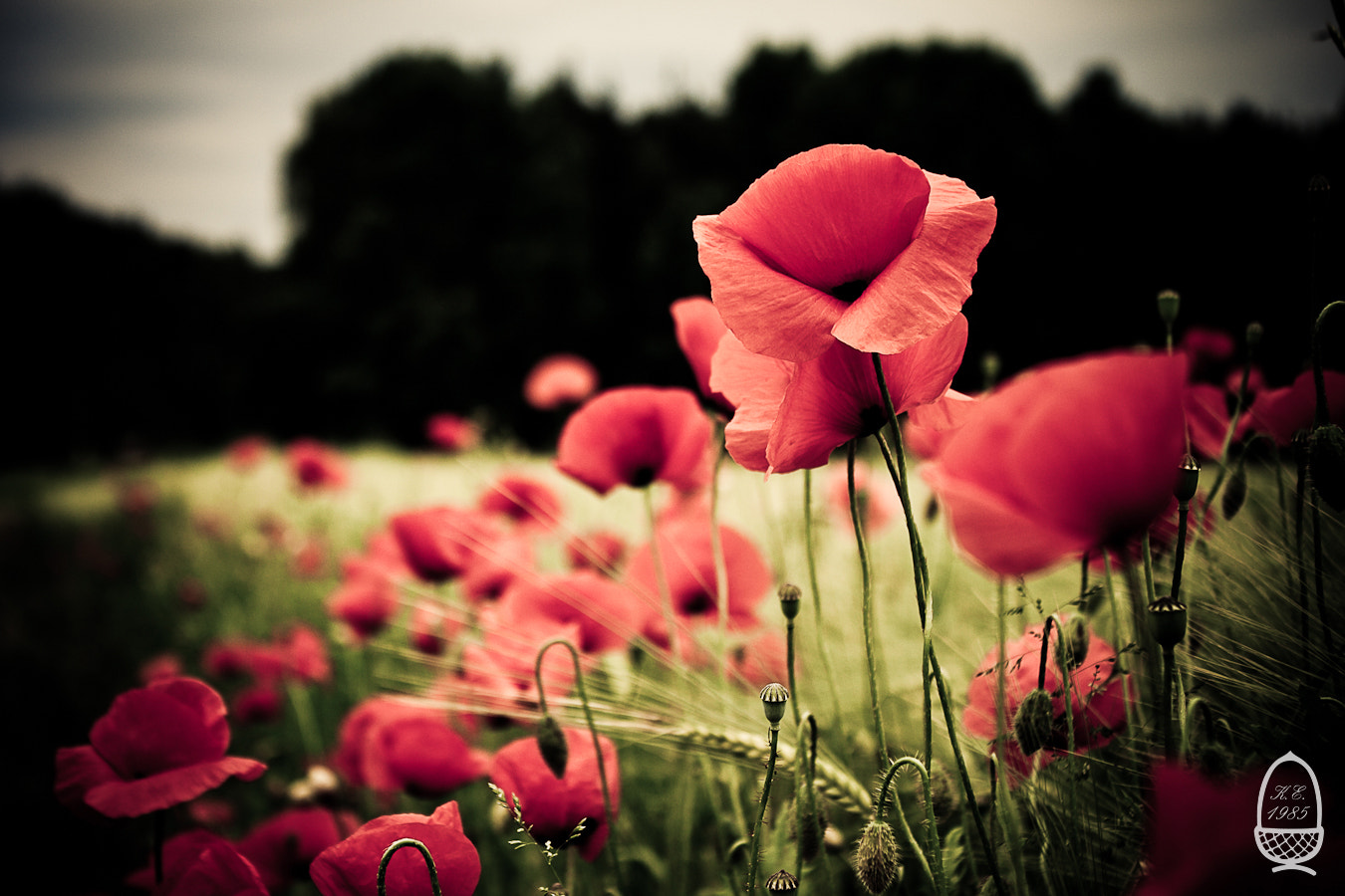 Photograph Red poppies by Katrin Eichleitner on 500px