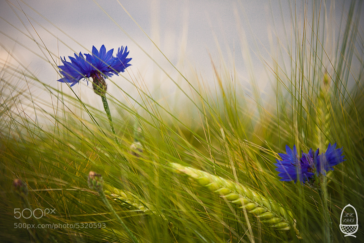 Photograph Cornflowers by Katrin Eichleitner on 500px